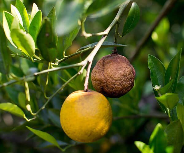 citrus greening orange