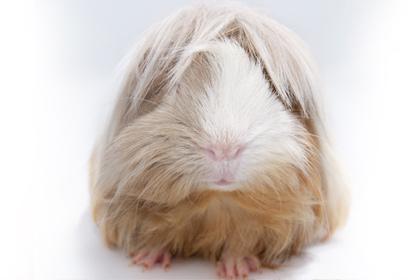 guinea-pig-480x280