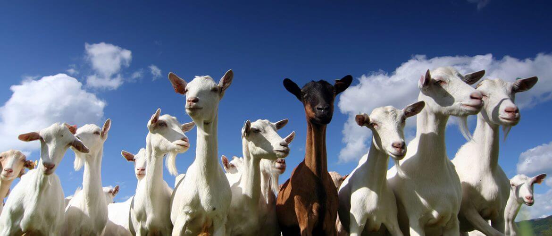 Blog_goats